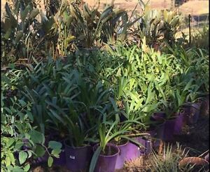Agapanthus-sunday only 6/$20 Baldivis Rockingham Area Preview