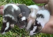 Cute little mice mouse Lockridge Swan Area Preview