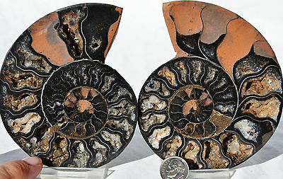 "RARE 1 in 100 BLACK PAIR Ammonite Crystal LARGE 106mm Dinosaur FOSSIL 4.2"" n1902"