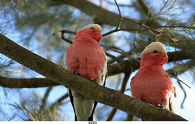 Rosakakadu, Vögel,  Bild auf Leinwand /60x100 cm /8203/