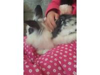 Lionhead rabbit looking for good home