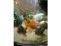 Beautiful fancy goldfish