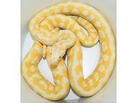 cb15 male albino carpet python
