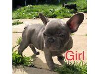 KC REGISTERED FRENCH BULLDOG PUPPYS READY TO LEAVE NOW