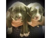 Full Staffordshire Bull Terrier Blue Pups For Sale...