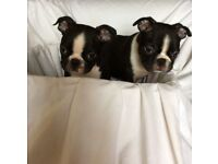Boston Terrier puppies ** READY NOW