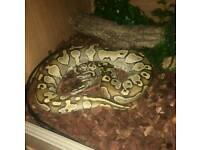 snake lesser ball python and viv