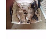 Beautiful Siamese(male) kittens for sale