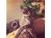 Lampropeltis mexicana king snake, Viv included.