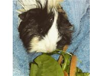Female Guinea Pig 4 y/o Looking for new home