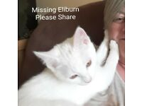 Missing White Cat Eliburn Livingston Gold Collar Barrel id chipped Registered at Lamond Vets