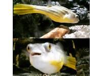 Fahaka puffer fresh water fish.