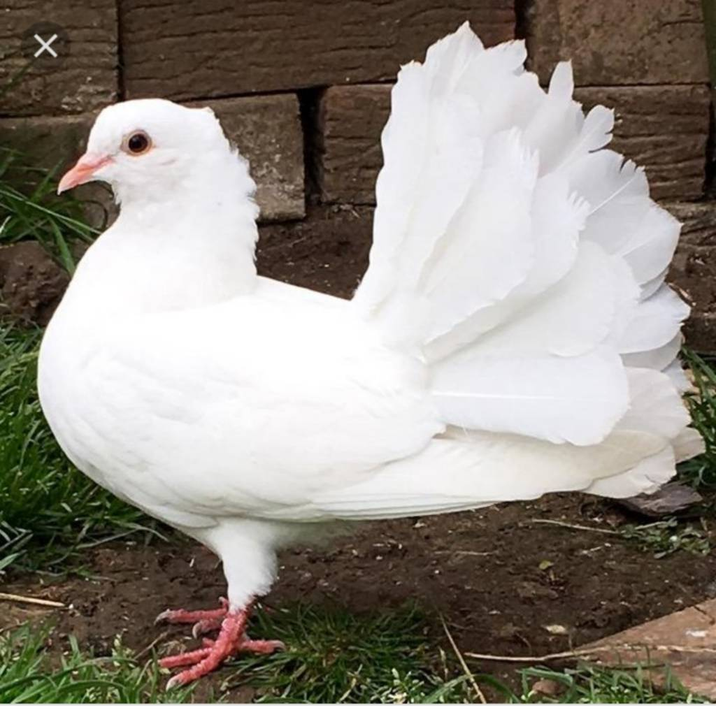 Pure White Fantail Doves Available All Ages In Malvern