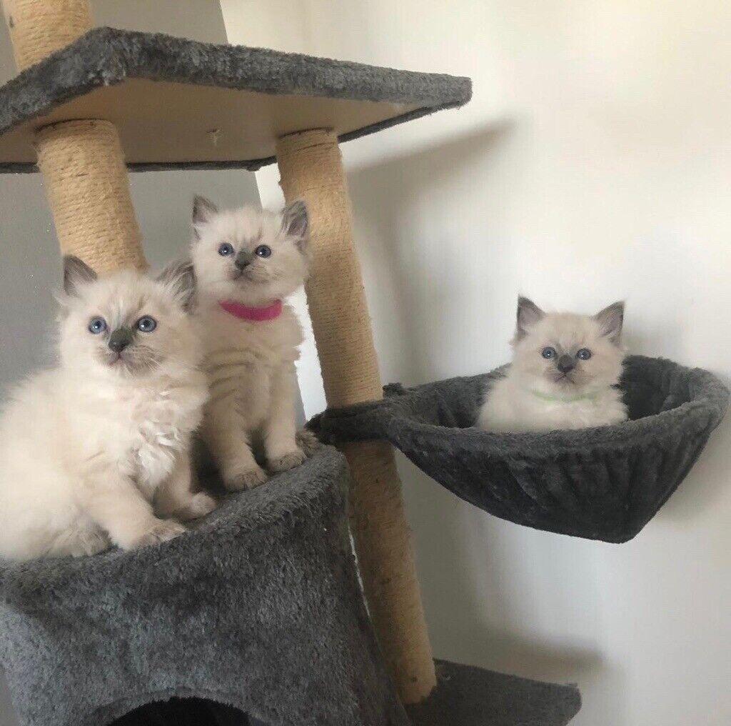 Ragdoll Kittens For Sale In Bargeddie Glasgow Gumtree