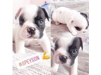 Simply stunning french bulldog puppies- 2 girls & 3 boys