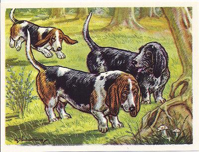 1952 Dog Print Austria Tobacco Bildwerk Card PETIT BASSET GRIFFON VENDEEN HOUND