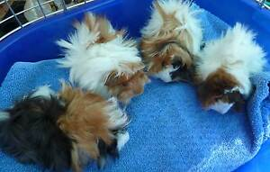 Baby Long Haired Guinea Pigs 5-6 weeks old :) Murray Bridge Murray Bridge Area Preview