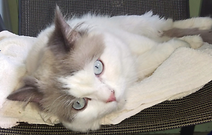 Purebred Lilac Bicolour Male Ragdoll Littleton Lithgow Area Preview