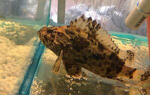 PRICE DROP Large 20cm Bullrout (Stone Fish)