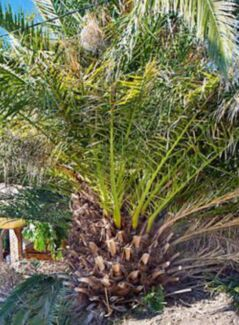 2 x Date Palm Large Phoenix canariensis Canary Island