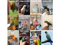 Ringneck - Alexandrine - jendaya - Sun Conure - blue conure parrots for sale + cage & del option