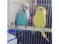 Beautiful adult 2 years old blue Budgie plus cage