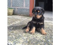 Beautiful Rottweiler Pups