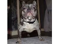 French bulldog champion blood lines