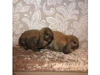 2 Sooty Fawn Pure Bred Mini Lop Bunnies For Sale