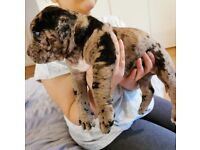 Mastiff Merle Puppies