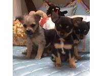 Chorkie puppies ready for their new homes