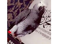 Lost african grey parrot in batley staincliffe