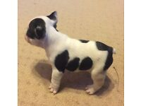 Outstanding French bulldog pups ready in 3 weeks