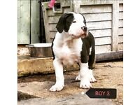 XL AMERICAN BULLY PUPS. CHAMPION LINES