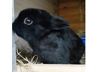 Mini lop cross buck