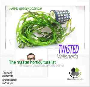 Vallisneria twisted  grown to perfection Highland Park Gold Coast City Preview