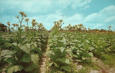 Vintage Postcard Tobacco Land View of Tobacco Plants in Field