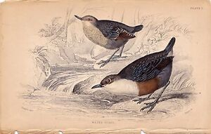 WATER OUZEL JARDINE NATURALIST'S LIBRARY VINTAGE BIRD BOOK PRINT PLATE 2