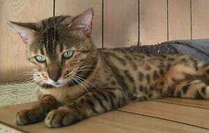 Bengal Cat - Female - Purebred Adult looking for a pet home