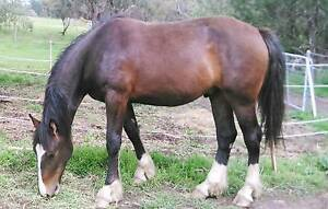 Dark Bay Two Year Old Gelding by SOS Forbes Forbes Area Preview
