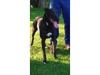 Collie bull greyhound