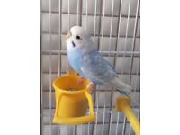 ** Reduced Price £40** 2 Beautiful Budgies for sale including Cage and food