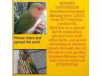 L o s t/ S T O L E N lovebird on medication REWARD