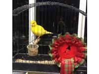 Fife canary