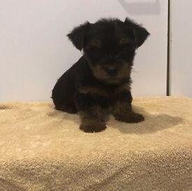 Pedigree yorkshire terrier puppy