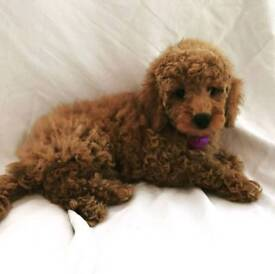 Beautiful kc registered toy poodle puppys