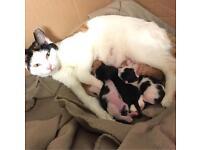 2 kittens left-8wks old-£175 each