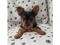 Yorkshire Terrie puppies - Female and Male Ready for a New Home!