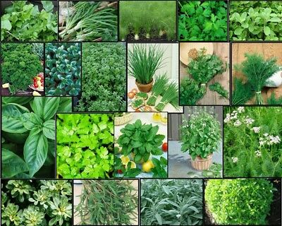 HERB Garden Lot ~ 20 Varieties ~ Over 4,435 FRESH Seeds ~ Non GMO -- Lot (Garden Fresh Herbs)