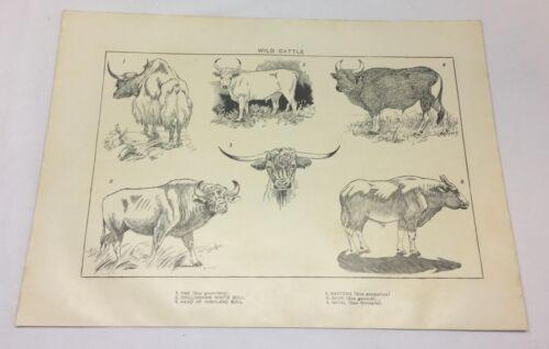 1918 print ~ WILD CATTLE
